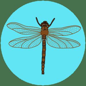British dragonflies, brown hawker