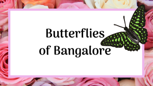 butterflies of Bangalore