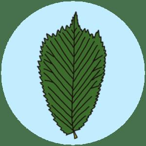 identifying wych elm