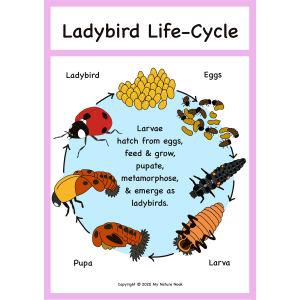 ladybird life-cycle