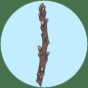 walnut buds