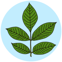 elder leaves