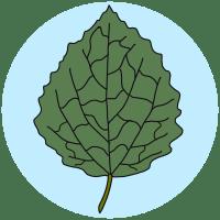 identifying aspen leaves