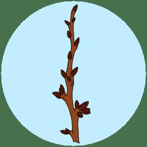 identifying cherry tree buds