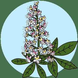 identifying horse chestnut tree flowers