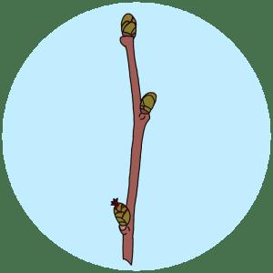 identifying hazel tree buds