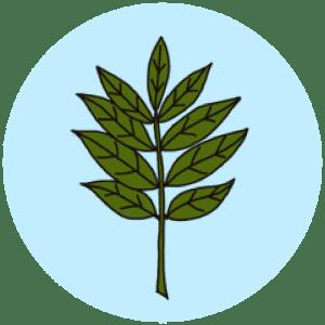 identifying ash leaves