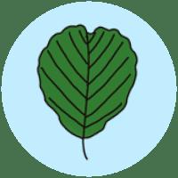 identifying alder leaves