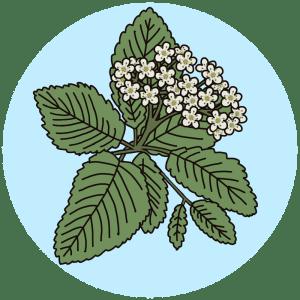 whitebeam tree flowers