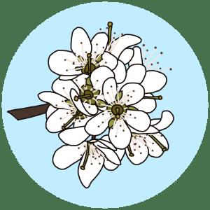 spring nature walk - plum blossom