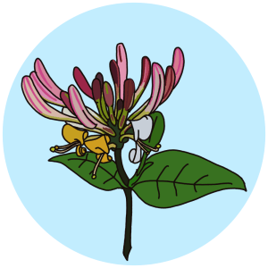 identifying honeysuckle flowers