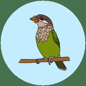white-cheeked barbet, birds of bangalore