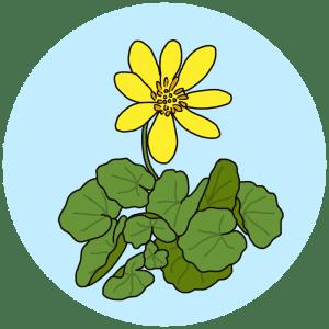 lesser celandine, spring flowers
