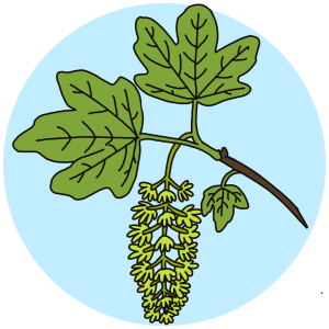 identifying flowering sycamore trees