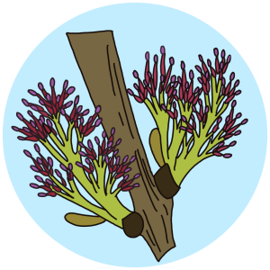 identifying flowering ash trees