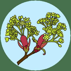 identifying field maple tree flowers
