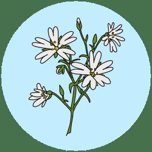 stitchwort