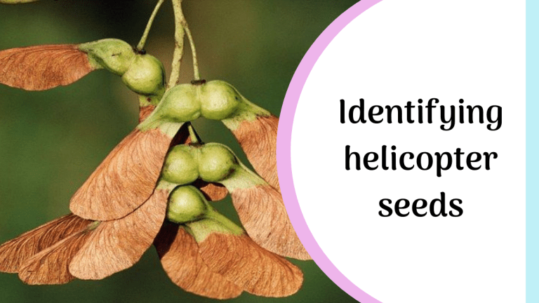 what are helicopter seedss