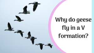 why do geese fly in a v shape?