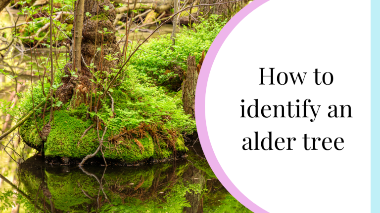 How to identify an alder tree