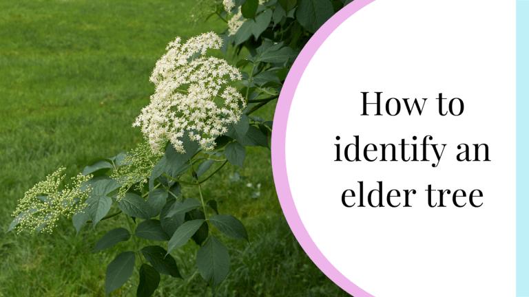 how to identify an elder tree