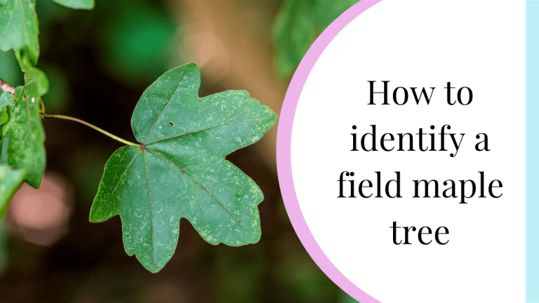 how to identify a field maple