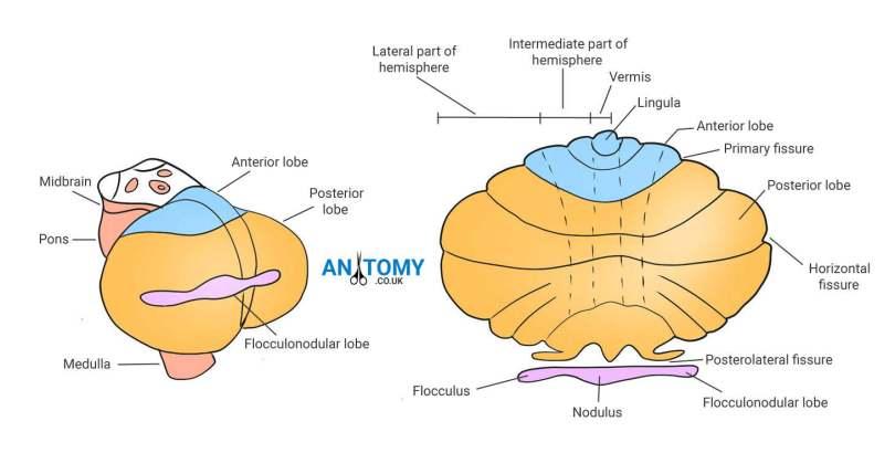 cerebellum-anatomy