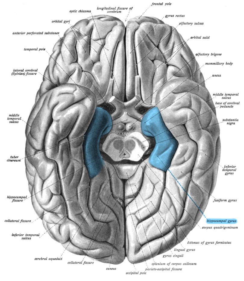 Sobo_1909_630_-_Parahippocampal_gyrus