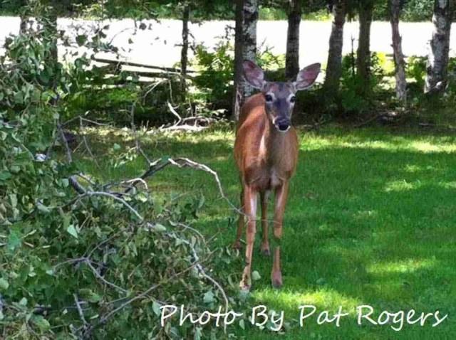 Mactaquac Deer