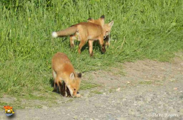 foxes3