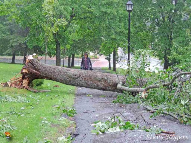 Tree uprooted at UNB in Fredericton