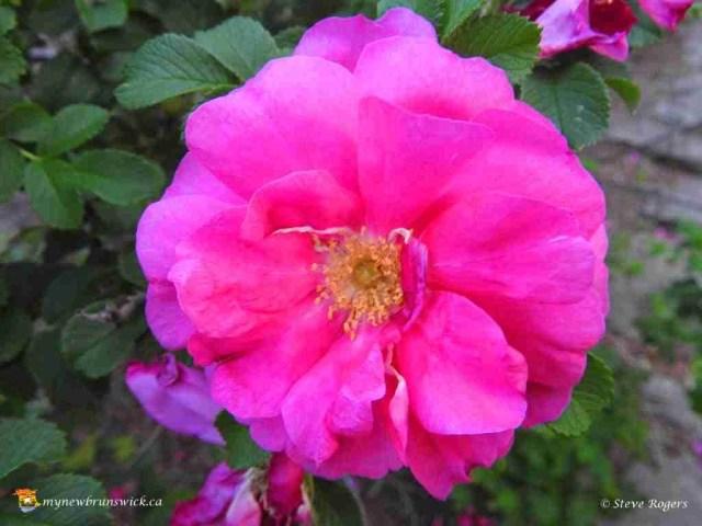 Rose 280
