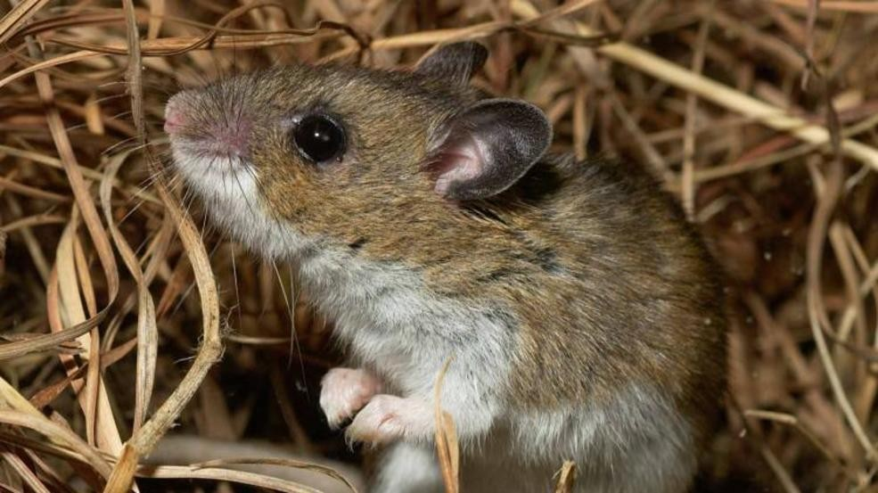 Hantavirus case reported in Washoe County, tips on how to protect ...