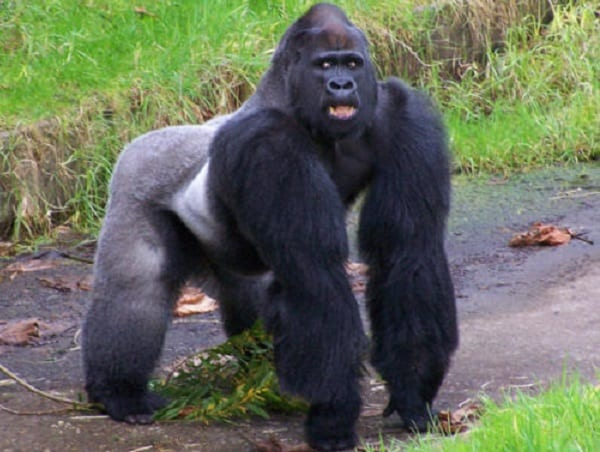 B/A: Gorilla 'Seizes' 2-year old girl from her mother at Sampa