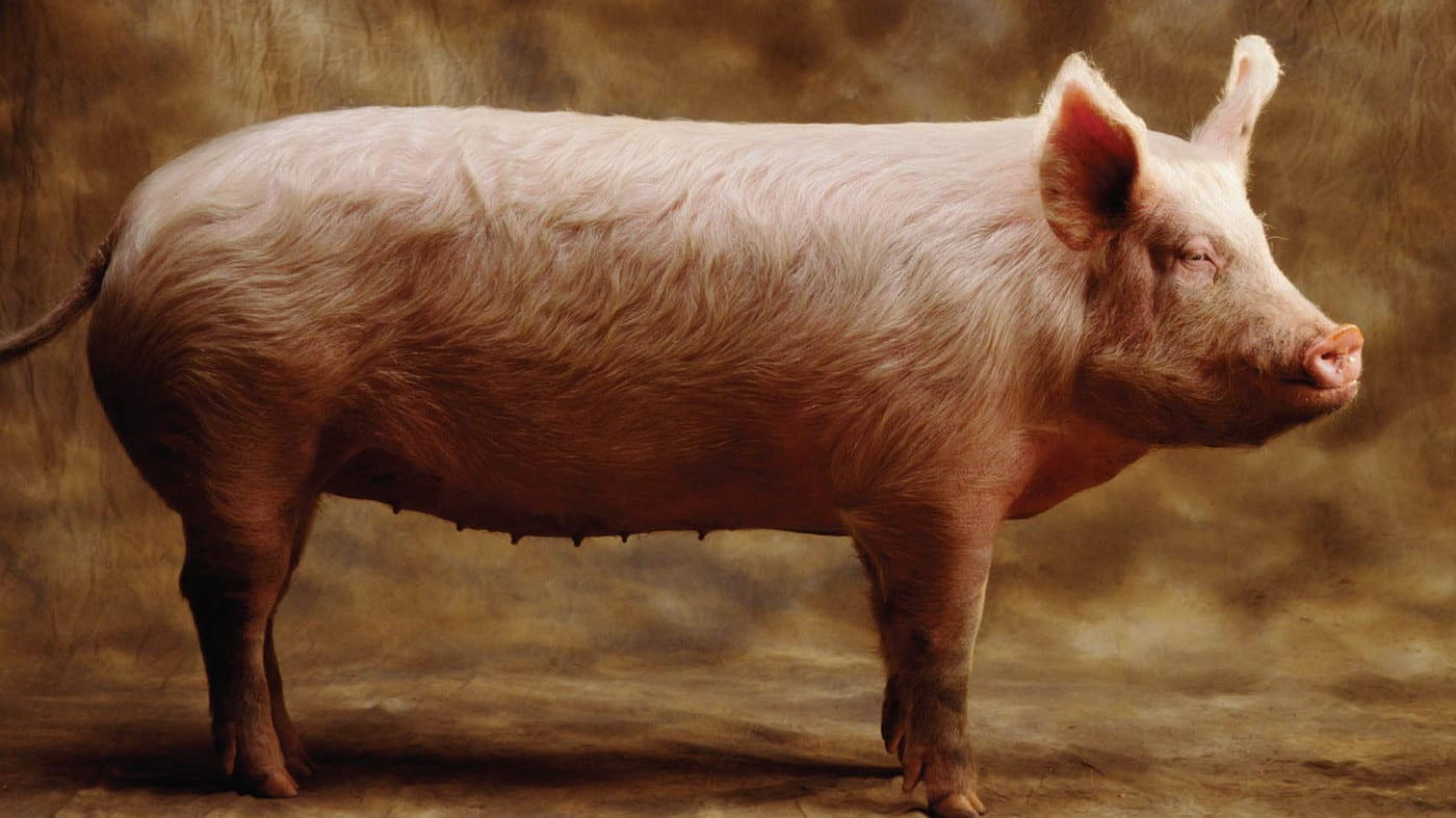 A/R: Man, 31 Caught Having Sex With a Pig