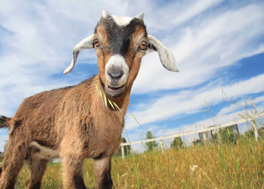 Zimbabweans to pay school fees with 'Goats and Sheep'