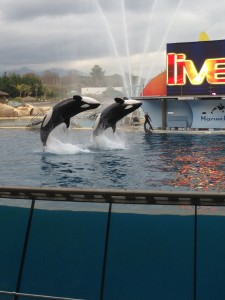 Don't miss the Killer Whale Show