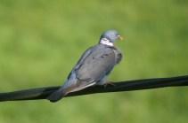 smug pigeon