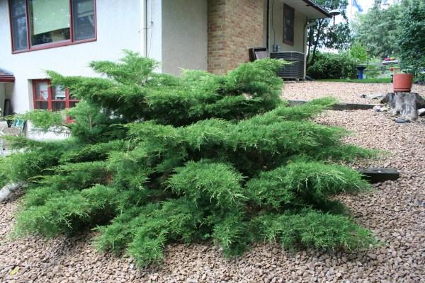large evergreen shrub northern