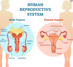 drugs affecting the reproductive system