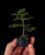 bonsai 2a