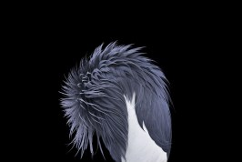 Studio portrait of an African crowned crane