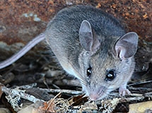 rats and mice oregon