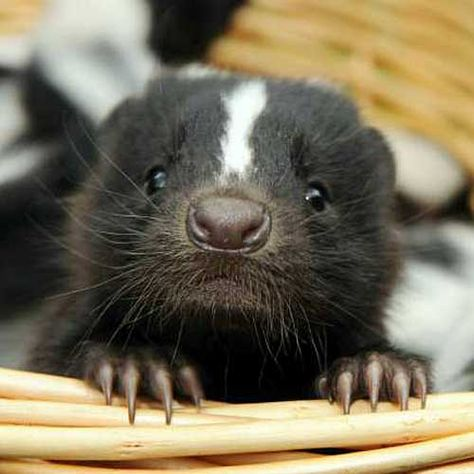 SKUNKS are non aggressive animals...they really just want to live and let live!