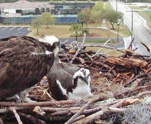 Orange Beach Osprey Nest Webcam 02