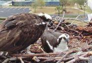 Orange Beach Osprey Nest Webcam 03
