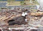 Orange Beach Osprey Nest Webcam 04
