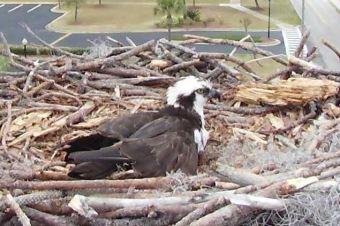 Orange Beach Osprey Nest Webcam 06