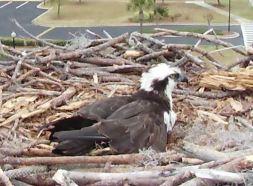 Orange Beach Osprey Nest Webcam 07