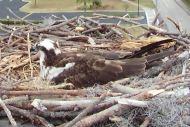 Orange Beach Osprey Nest Webcam 13